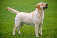 Labrador Retriever 1
